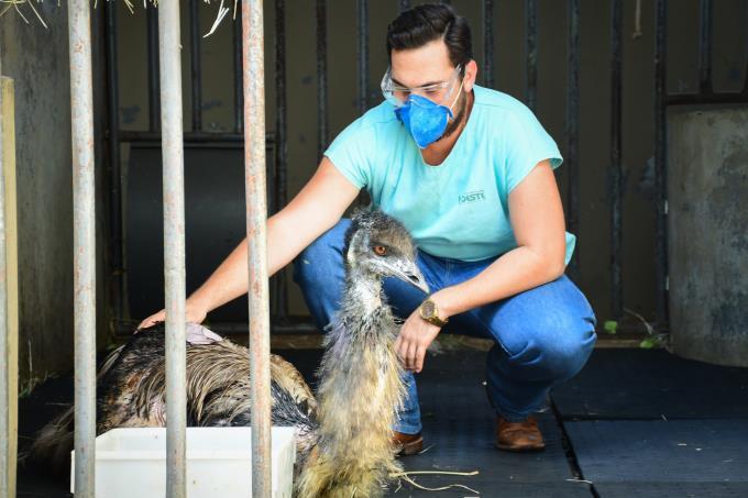Emu australiano: 2ª maior ave do planeta é atendida no HV