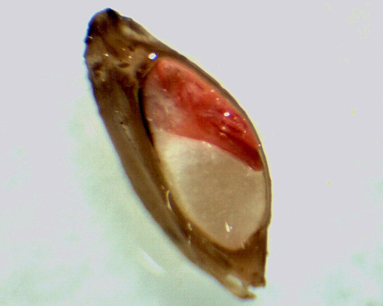 Teste de Tetrazólio em Sementes de Forrageiras Tropicais